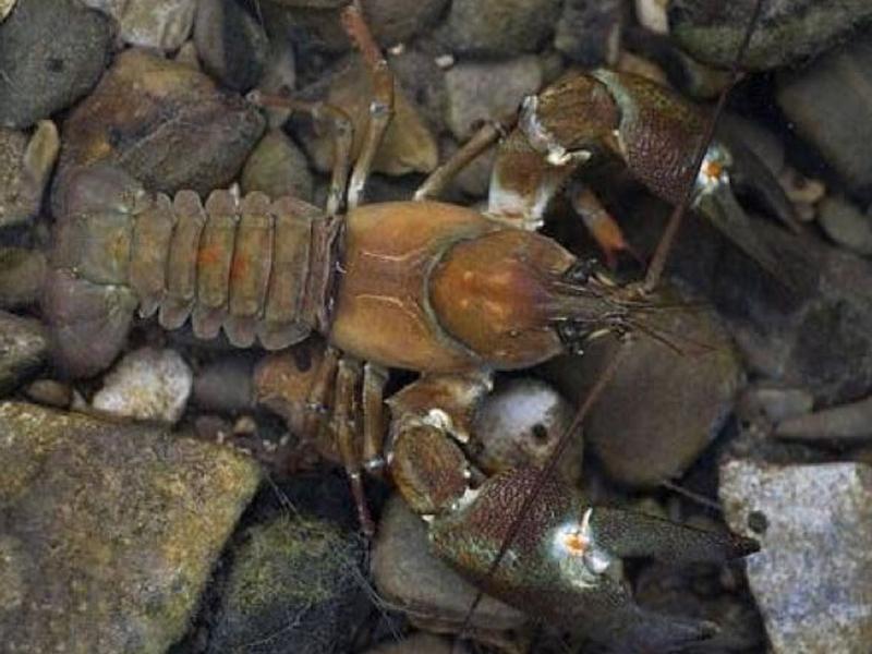 Ejemplar del cangrejo señal, especie de cangrejo de río invasora. Imagen: RJB