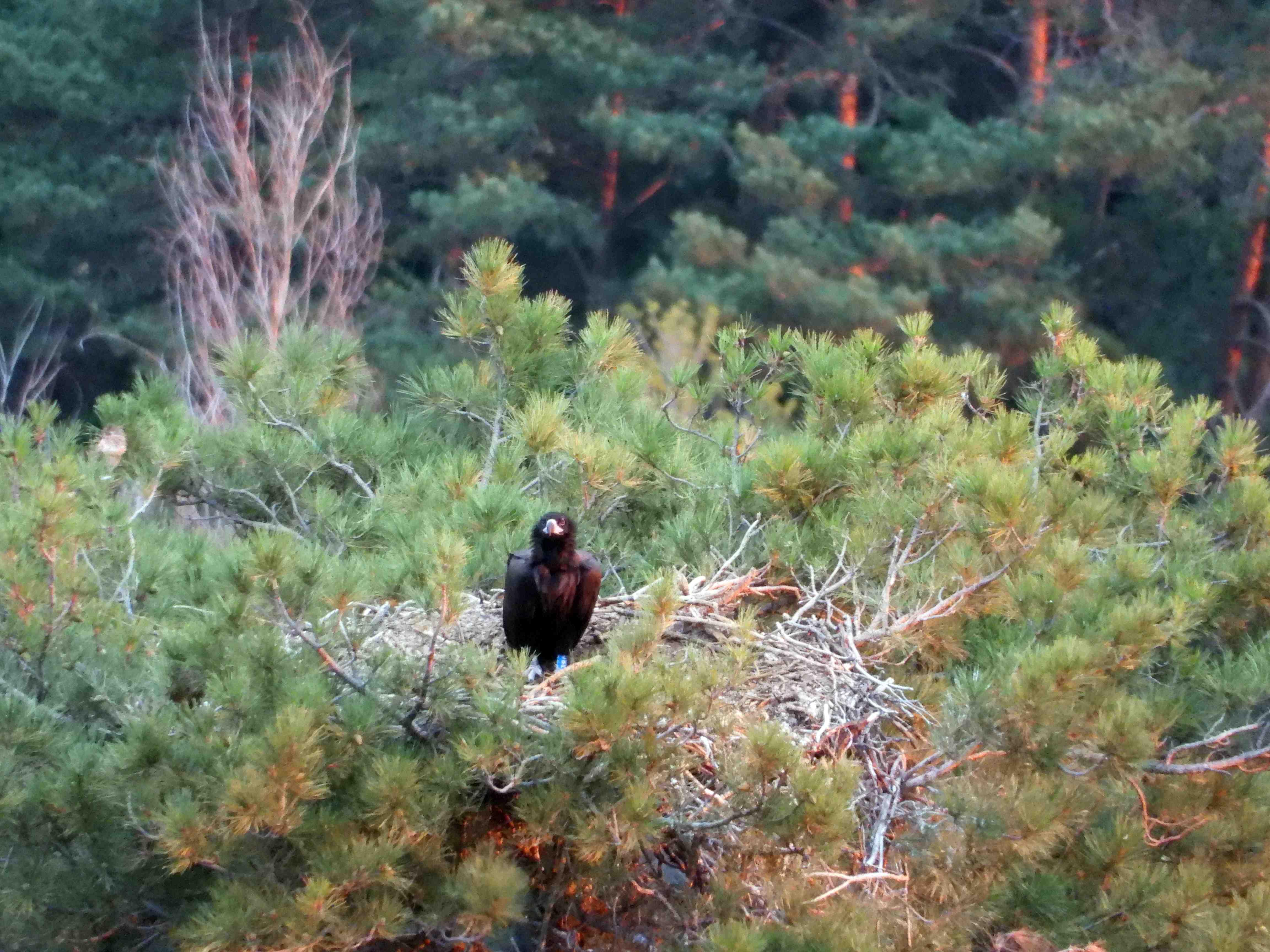 El buitre negro intoxicado por diclofenaco, fotografiado con vida dos días antes de conocerse su muerte en el nido. Imagen: Grefa