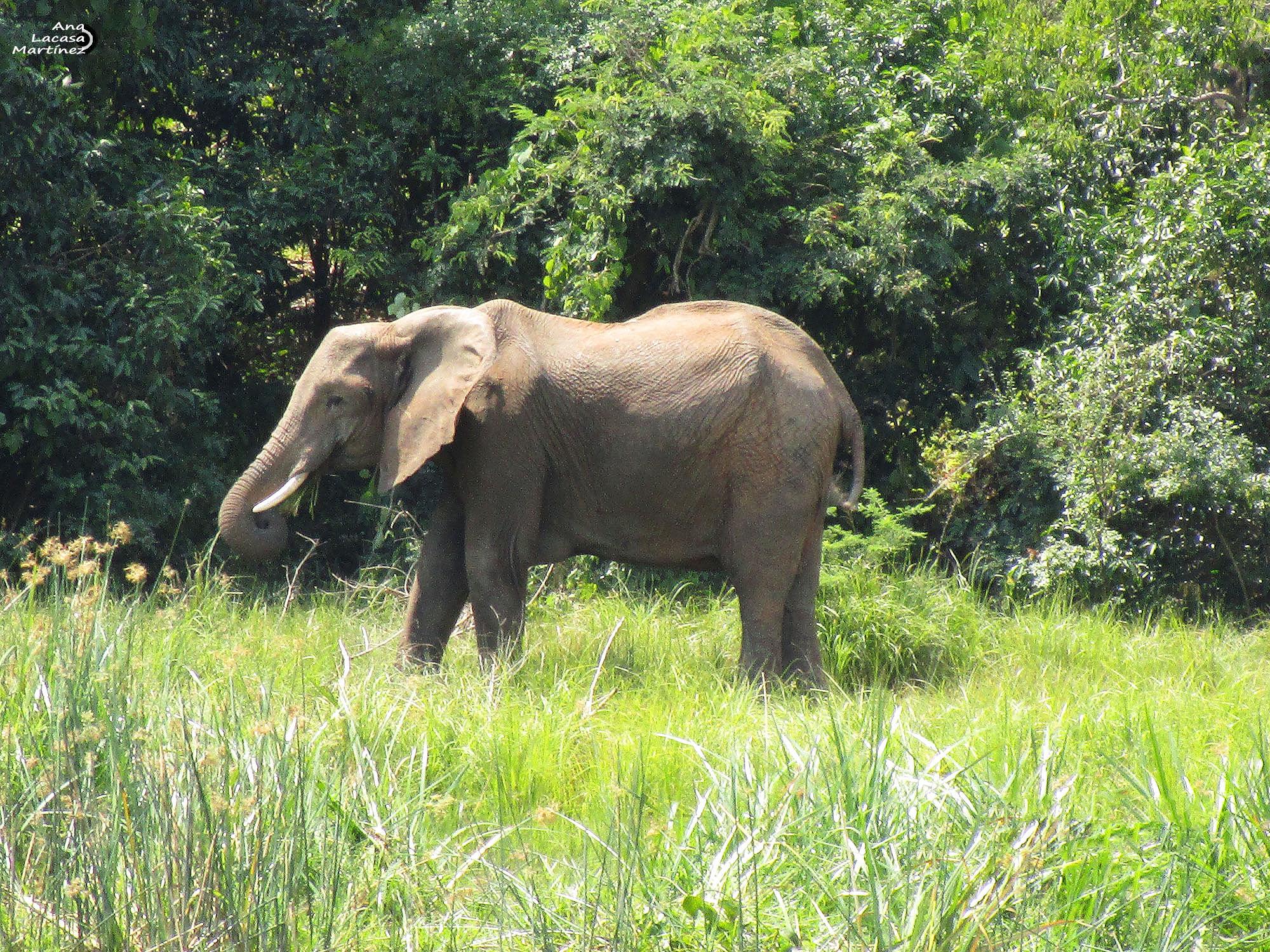 Este elefante pastaba tranquilo en las cercanías