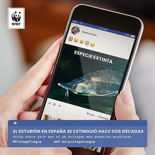 Esturión. Imagen: WWF