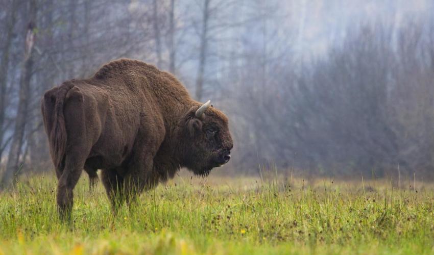 El bisonte, un caso esperanzador. Imagen: UICN