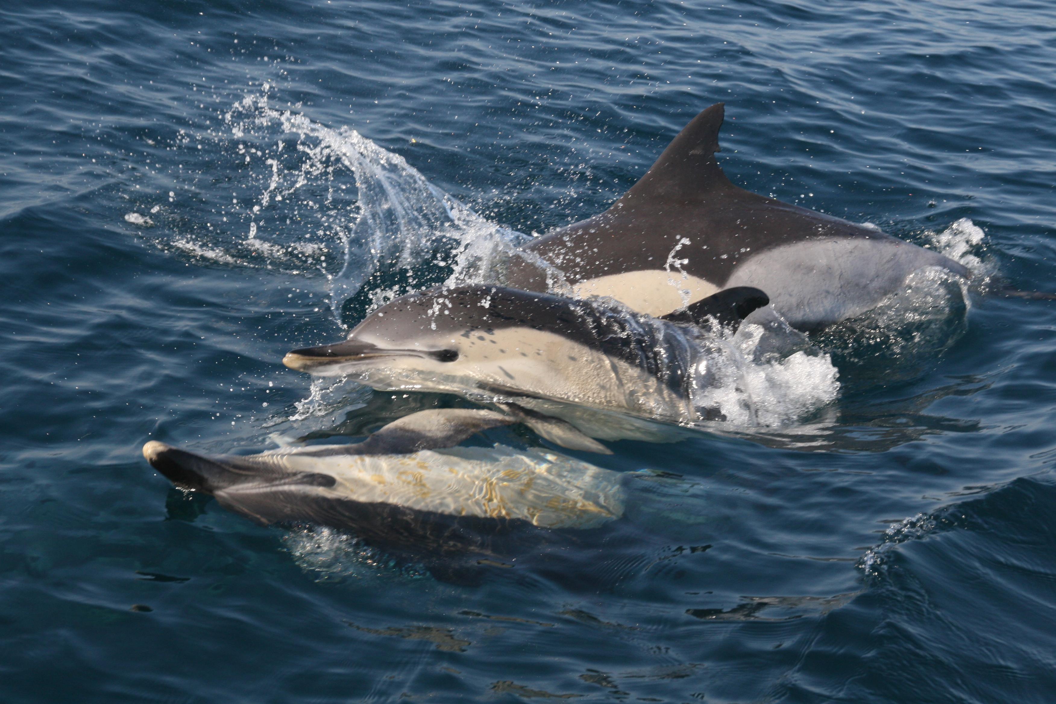 Ejemplares de delfín en el Mar de Alborán. Imagen: CIRCE /CSIC