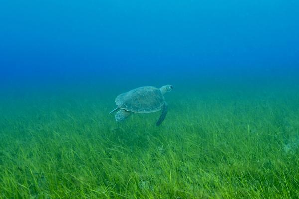 Un ejemplar de tortuga marina. Imagen: Alicia Herrera / ULPGC