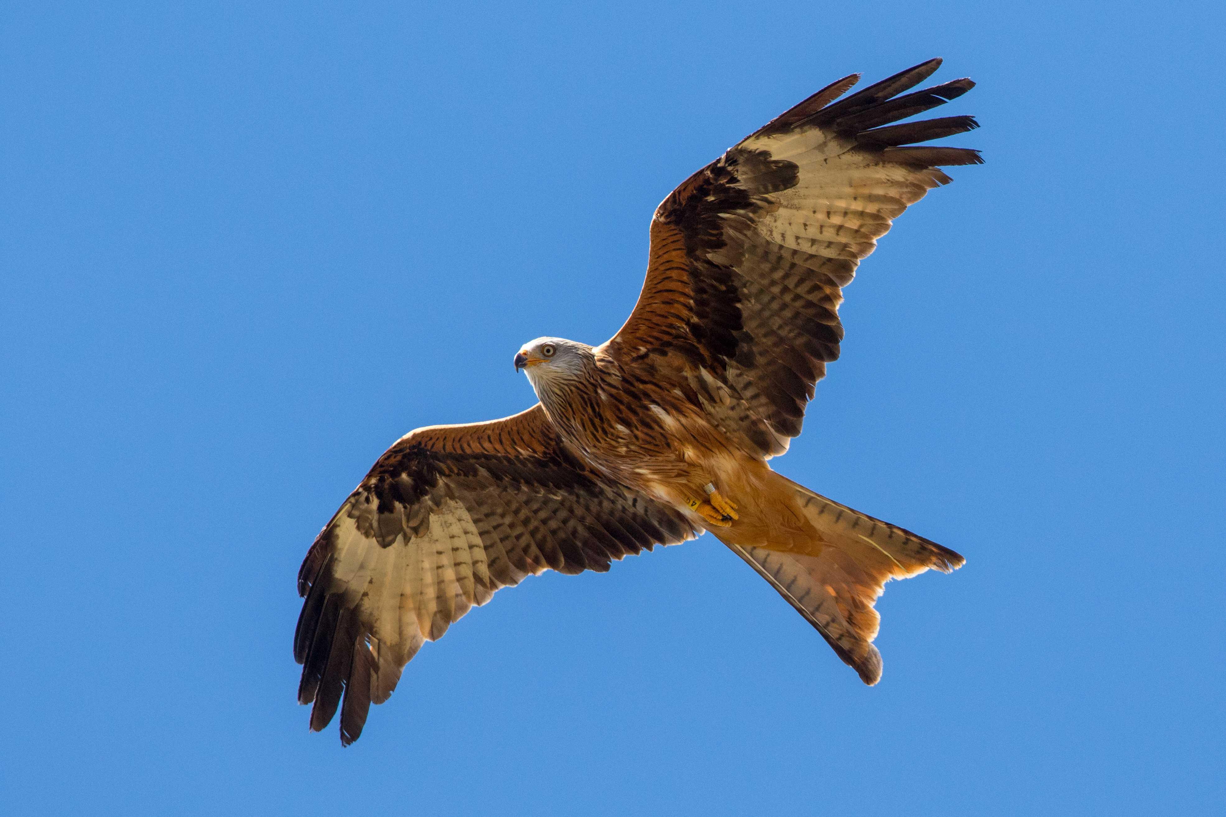 Milano real en vuelo tras ser liberado en el Parque Natural de Cazorla a finales de 2020. Imagen: Junta de Andalucía / GFEFA