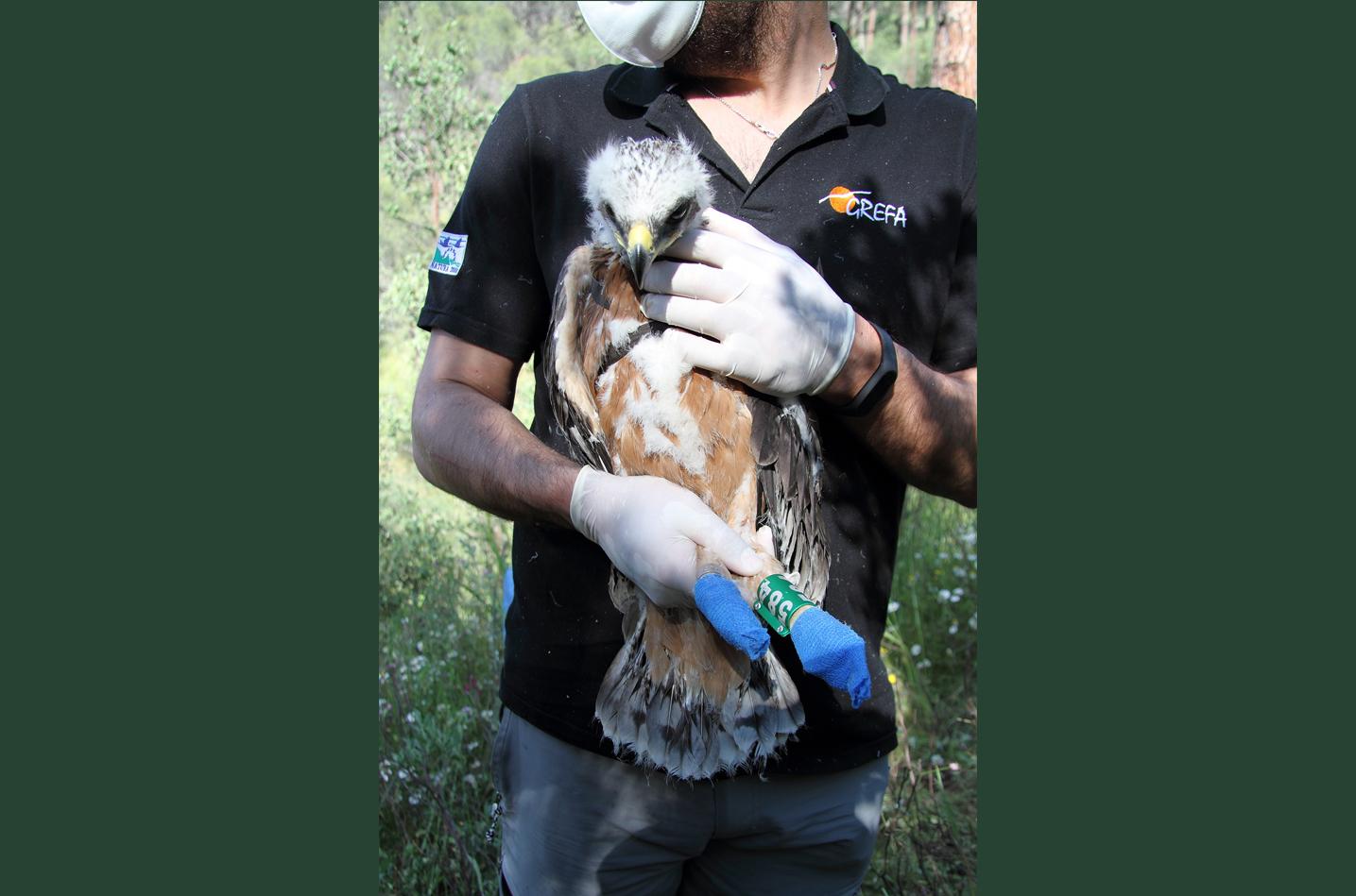 Pollo de águila de Bonelli nacido en 2020 en la Comunidad de Madrid, capturado momentáneamente para colocarle un emisor GPS. Imagen: Grefa
