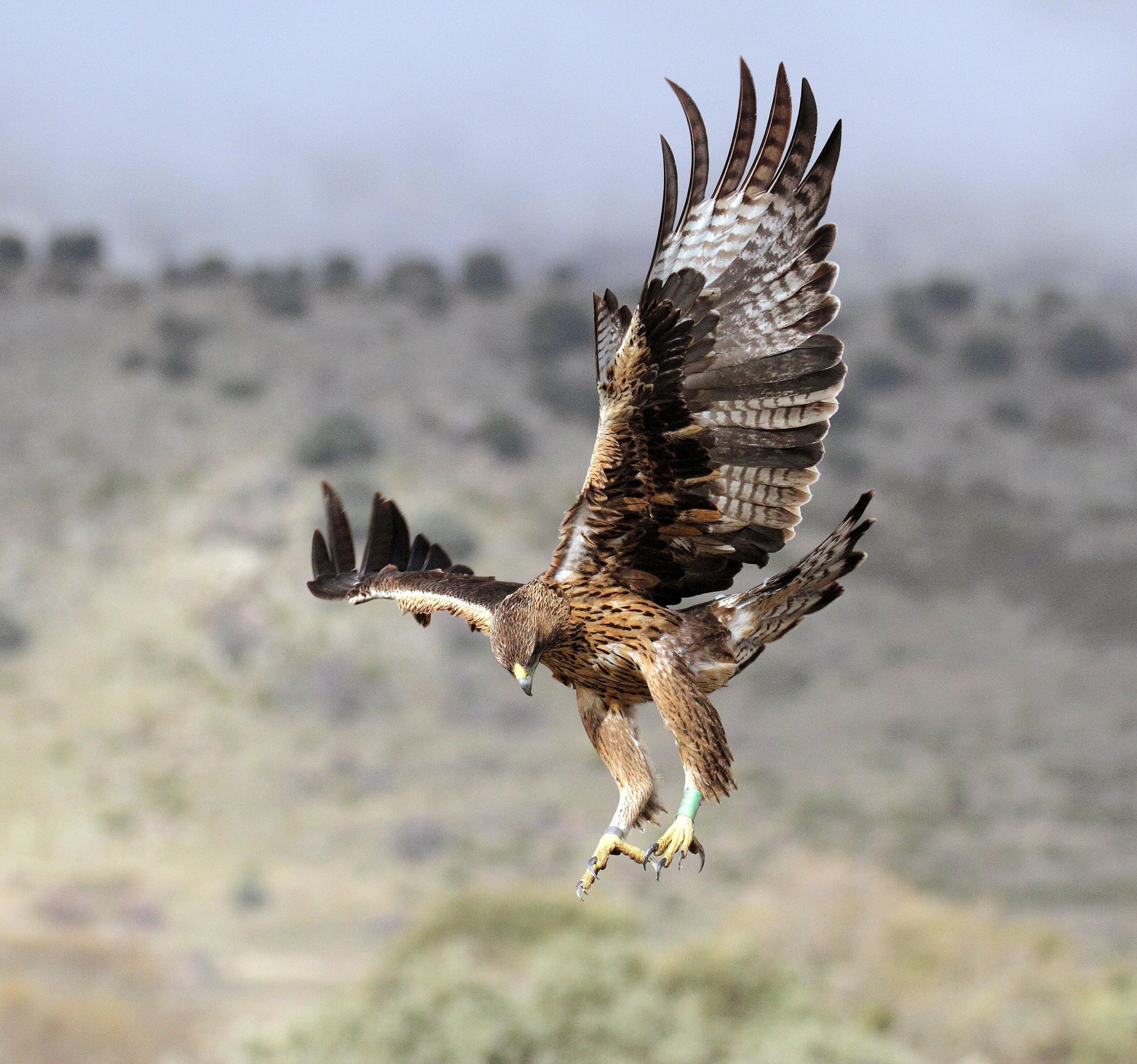 Foto de archivo de una de las águilas de Bonelli que ha criado en 2020 en la Comunidad de Madrid, cuando aún tenía plumaje juvenil. Imagen: Sergio de la Fuente / Grefa