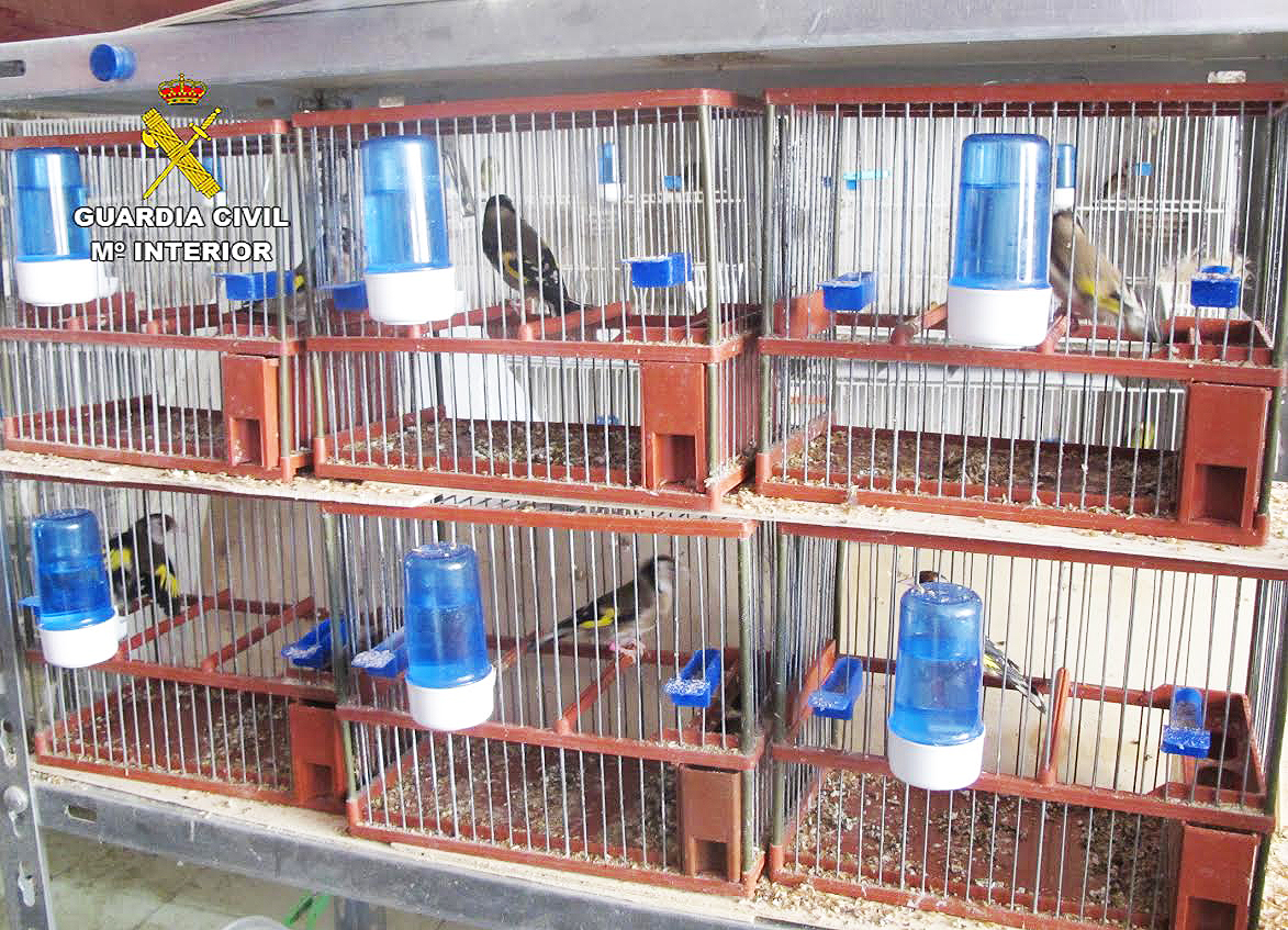 Algunos de los jilgueros decomisados, en sus jaulas. Imagen: Guardia Civil de la Región de Murcia