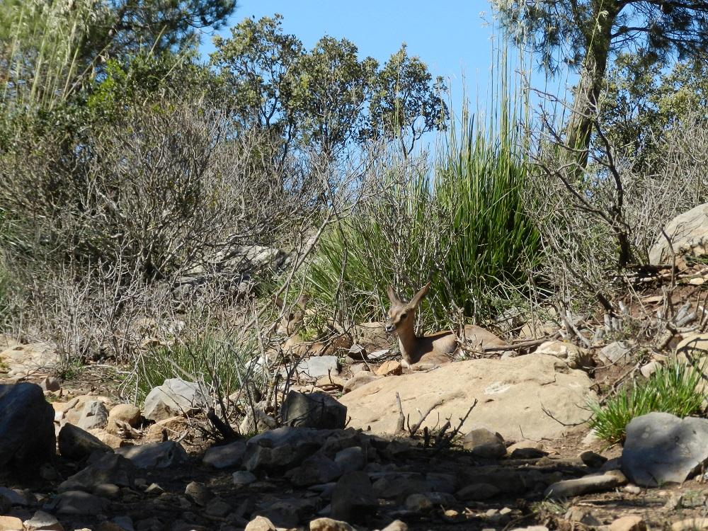 El proyecto de reintroducción de la gacela de Cuvier en Túnez maneja animales criados en Almería. Imagen: CSIC