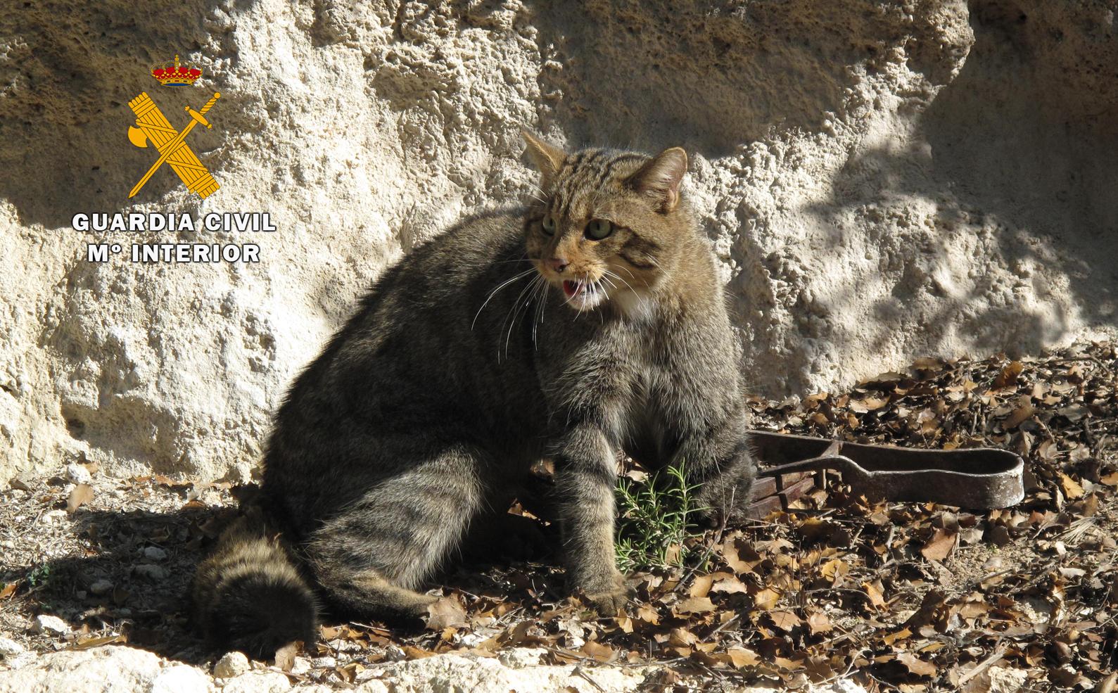 Ejemplar de gato montés caído en un cepo y liberado por el Seprona. (Imagen: Seprona)