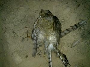 Gavilán tiroteado. Es una de las víctimas más numerosas de la caza furtiva. Imagen: SEO/BirdLife