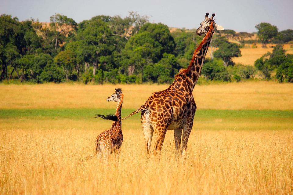Por lo general habita en sabanas, pastizales y bosques abiertos. Imagen: Pixabay