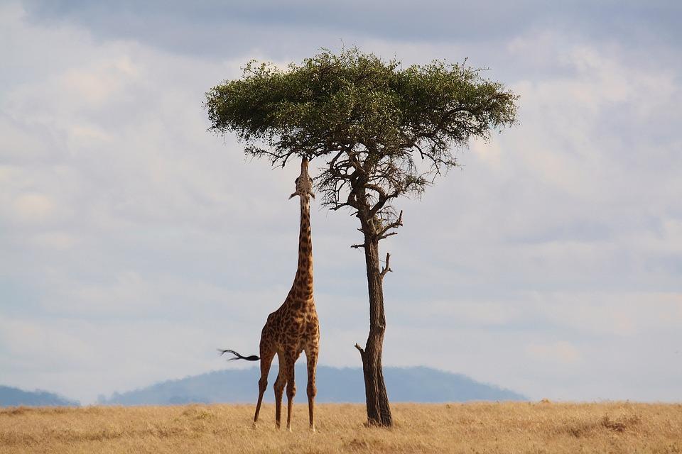 Es la más alta de todas las especies de animales terrestres existentes, pudiendo alcanzar los 5,8 metros. Imagen: Pixabay