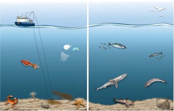 Ilustración que muestra los cambios en el ecosistema en un escenario con y sin regulación de la pesca. Imagen: Llope / IEO