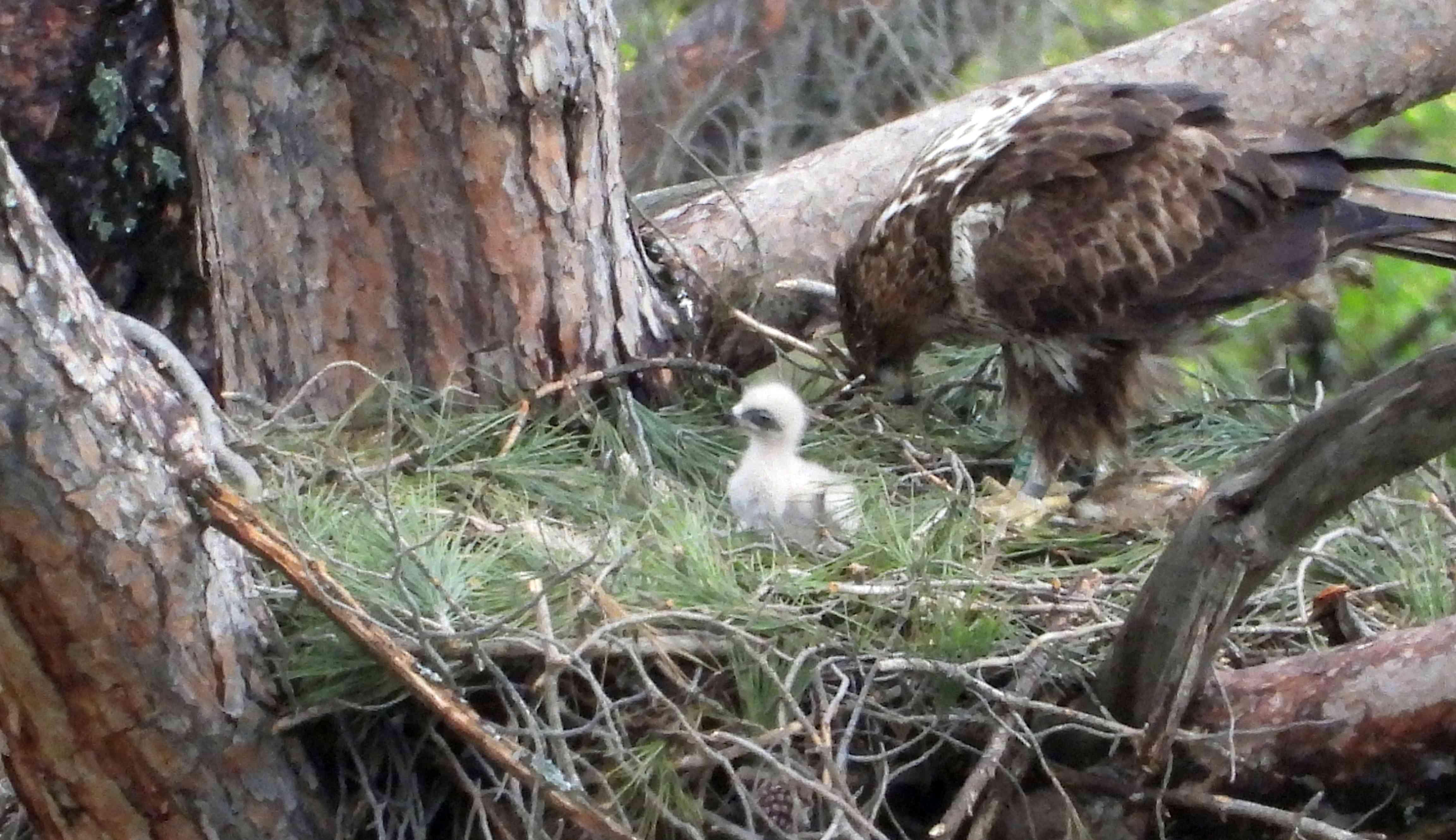 Hembra de águila de Bonelli con su pollito, en la Comunidad de Madrid. Imagen: Ernesto Álvarez / Grefa