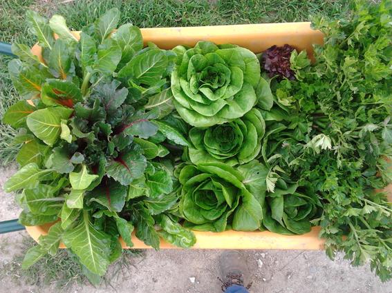 Hortalizas recolectadas por Las Huertas que da la Vida