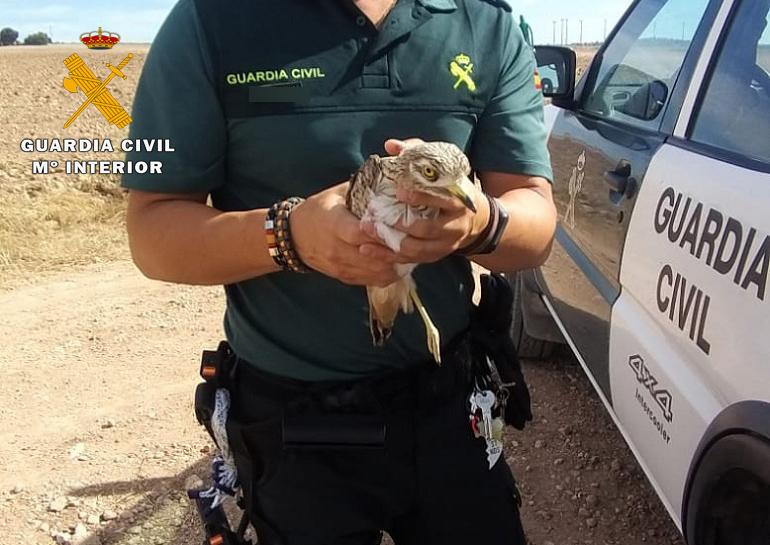 El alcaraván estaba herido en una pata. Imagen: Guardia Civil de Albacete