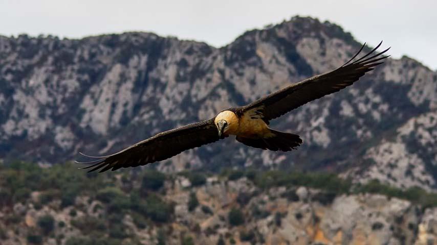 Un quebrantahuesos en vuelo. Imagen: UCLM