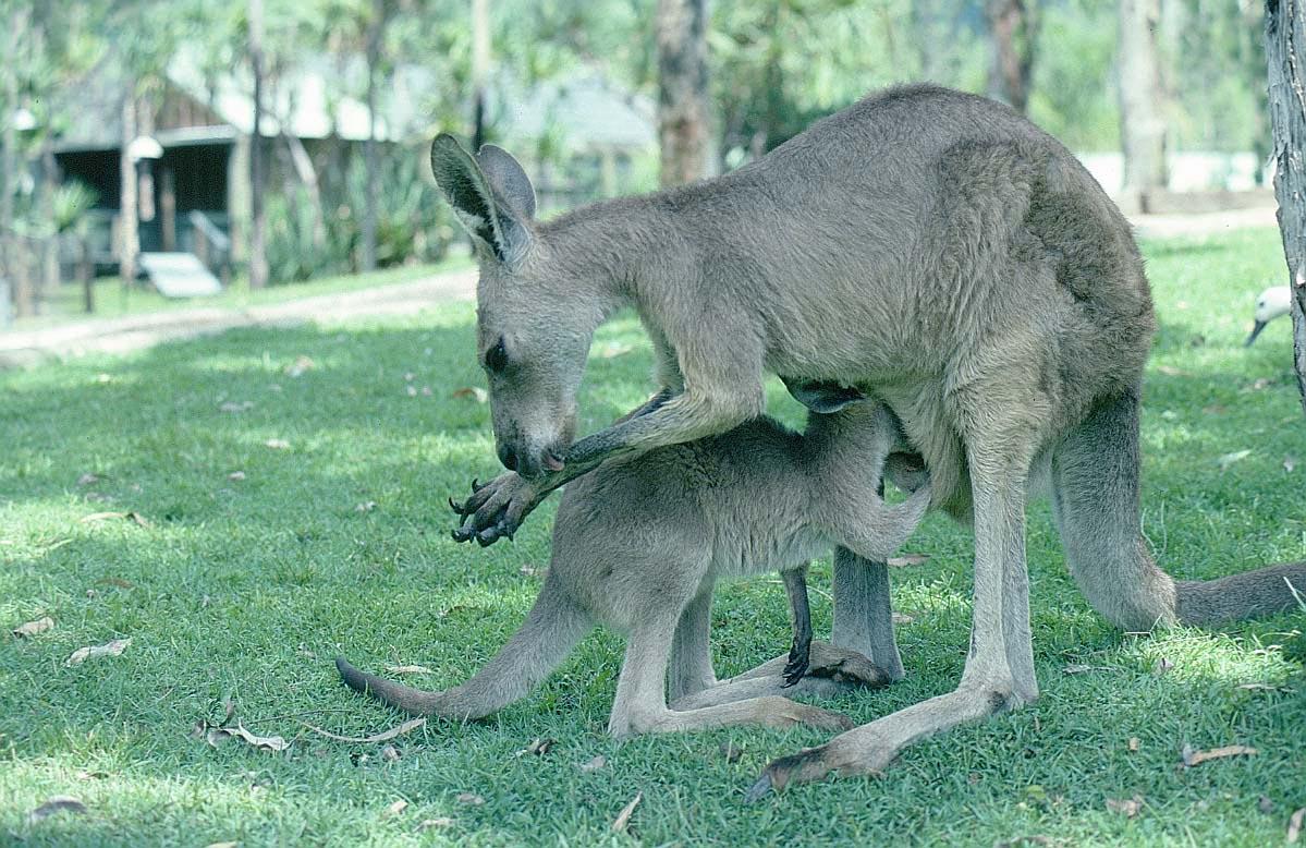 Un canguro y su cría. Imagen: http://www.bigfoto.com