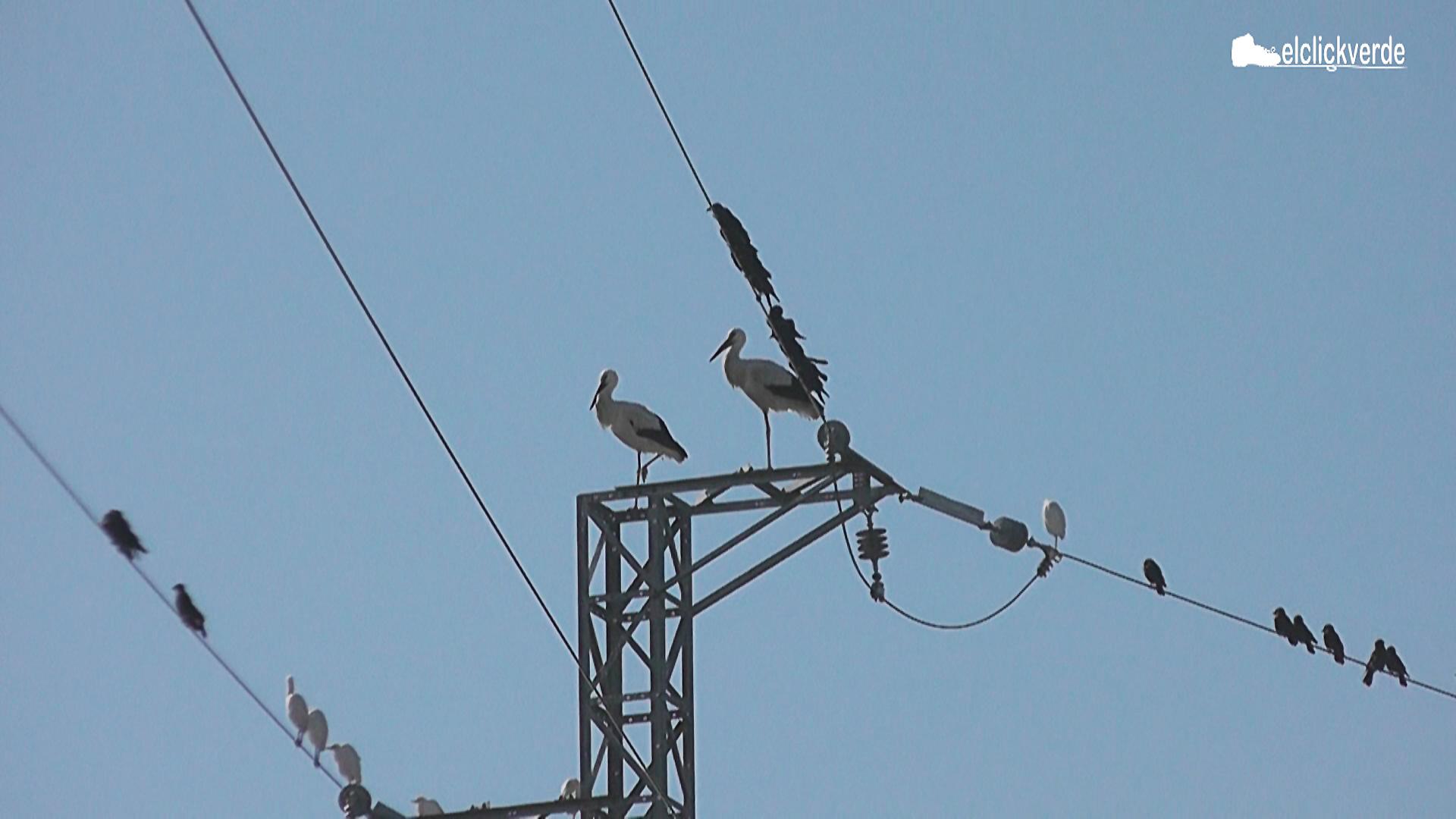Una pareja de cigüeñas, que se ha establecido en la Región de Murcia