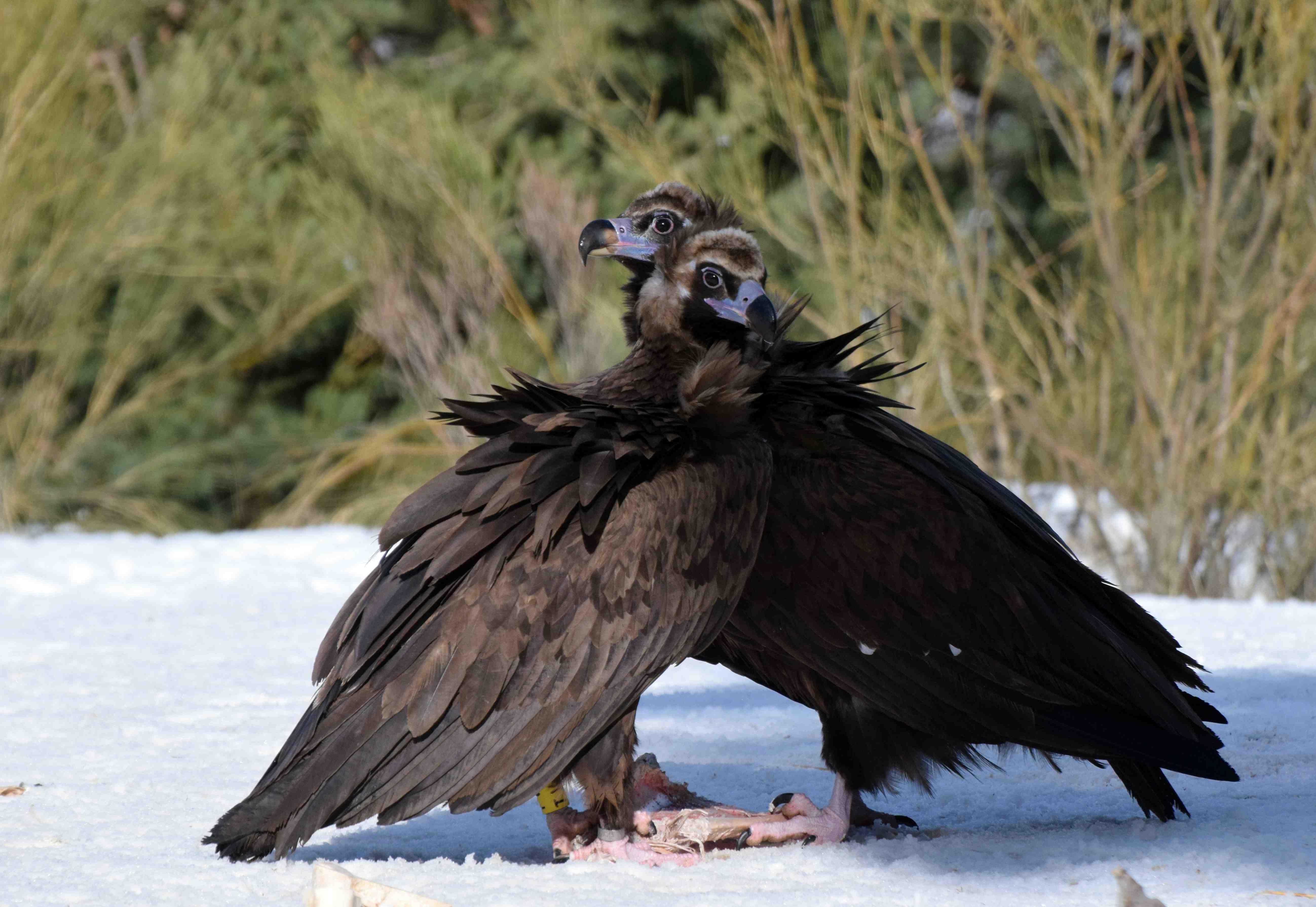 La pareja de buitres negros Benigno y Canaleja, en la fotografía, ha sacado adelante su pollo en la Sierra de la Demanda. Imagen: Grefa