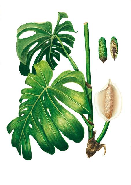 La planta gruyer Monstera deliciosa, de Laura Núñez Moncadas. Imagen: MNCN