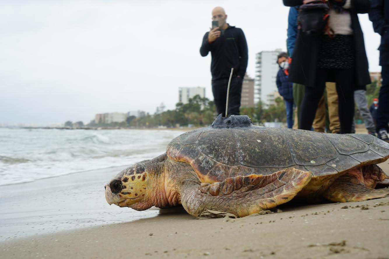 La tortuga Voramar, con 56 kilos, vuelve al mar. Imagen: Oceanogràfic