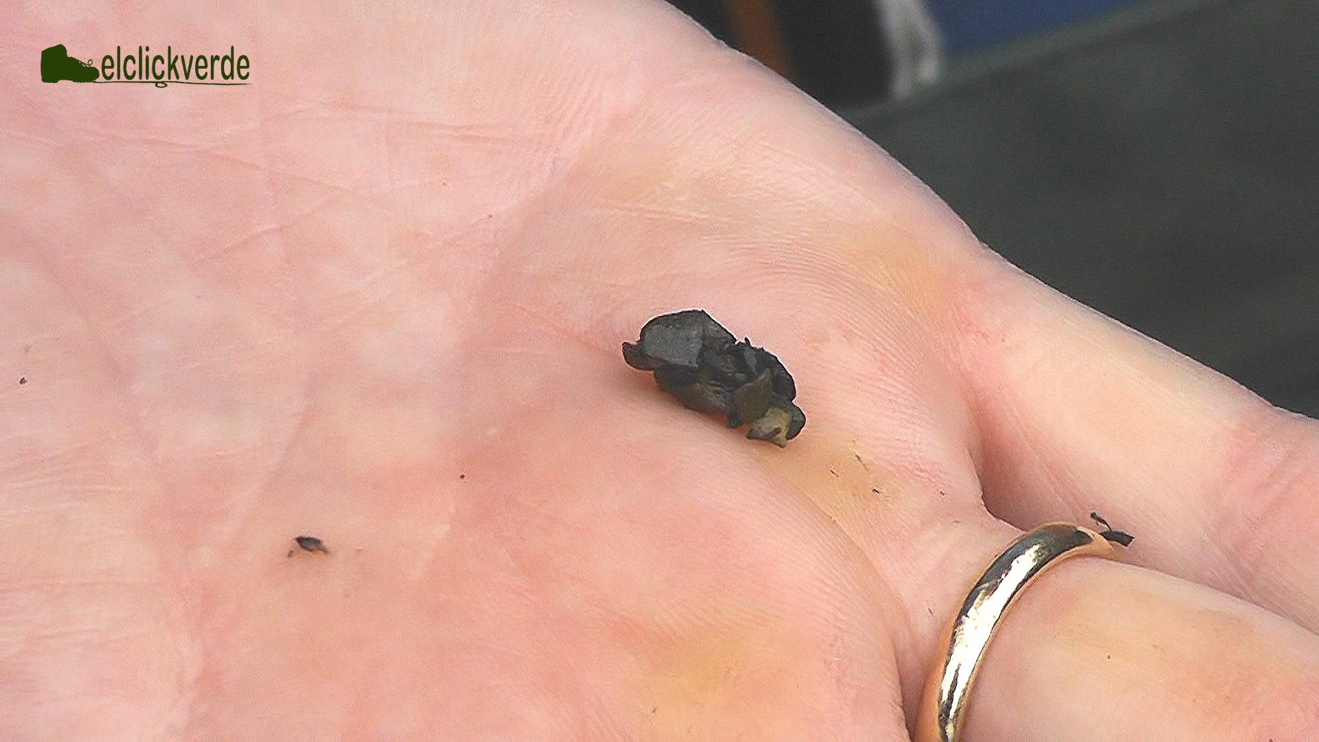 Larva de tricóptero con su vivienda, el canutillo.