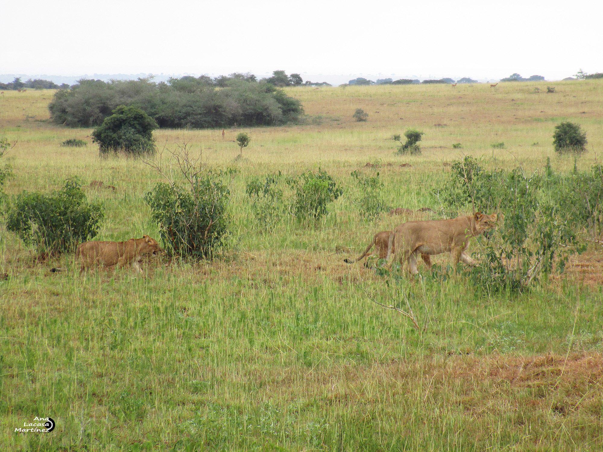 Las leonas vuelven de la caza