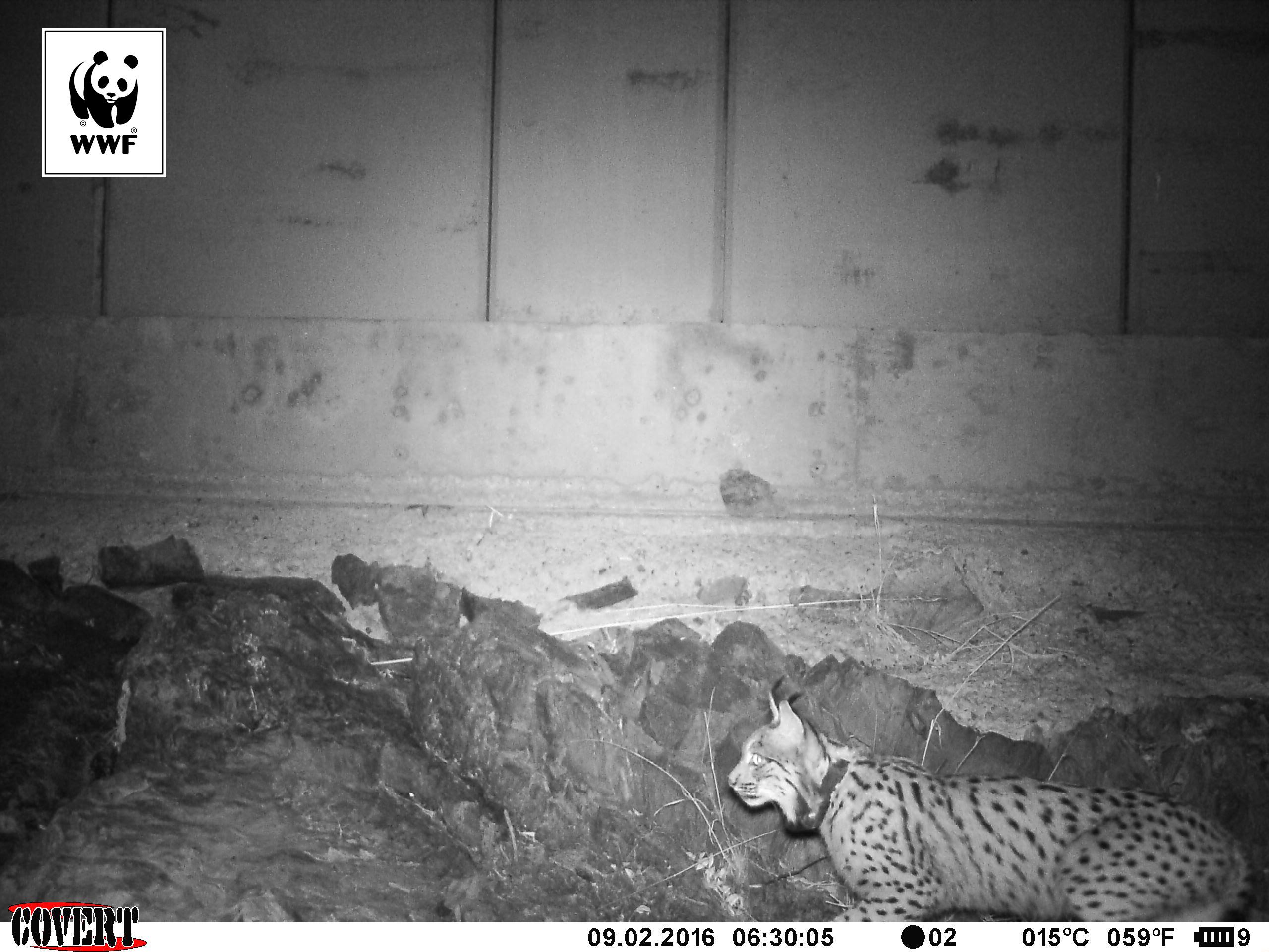 Un lince es captado por una cámara de fototrampeo haciendo uso de un paso de fauna. Imagen: WWF