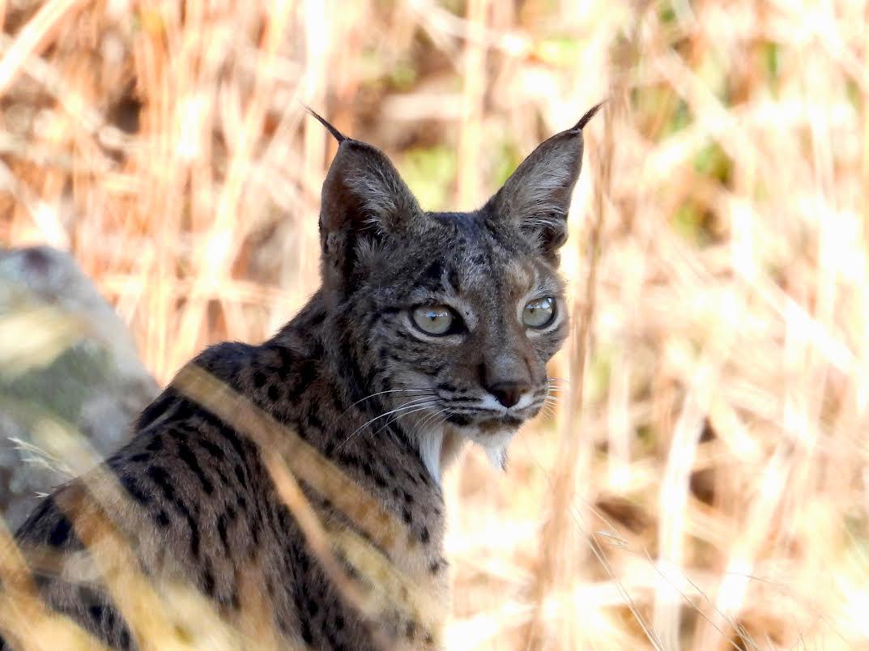 El lince ibérico está incluido en el Catálogo Nacional de Especies Amenazadas con la categoría de 'En Peligro de Extinción'. Imagen: Siece