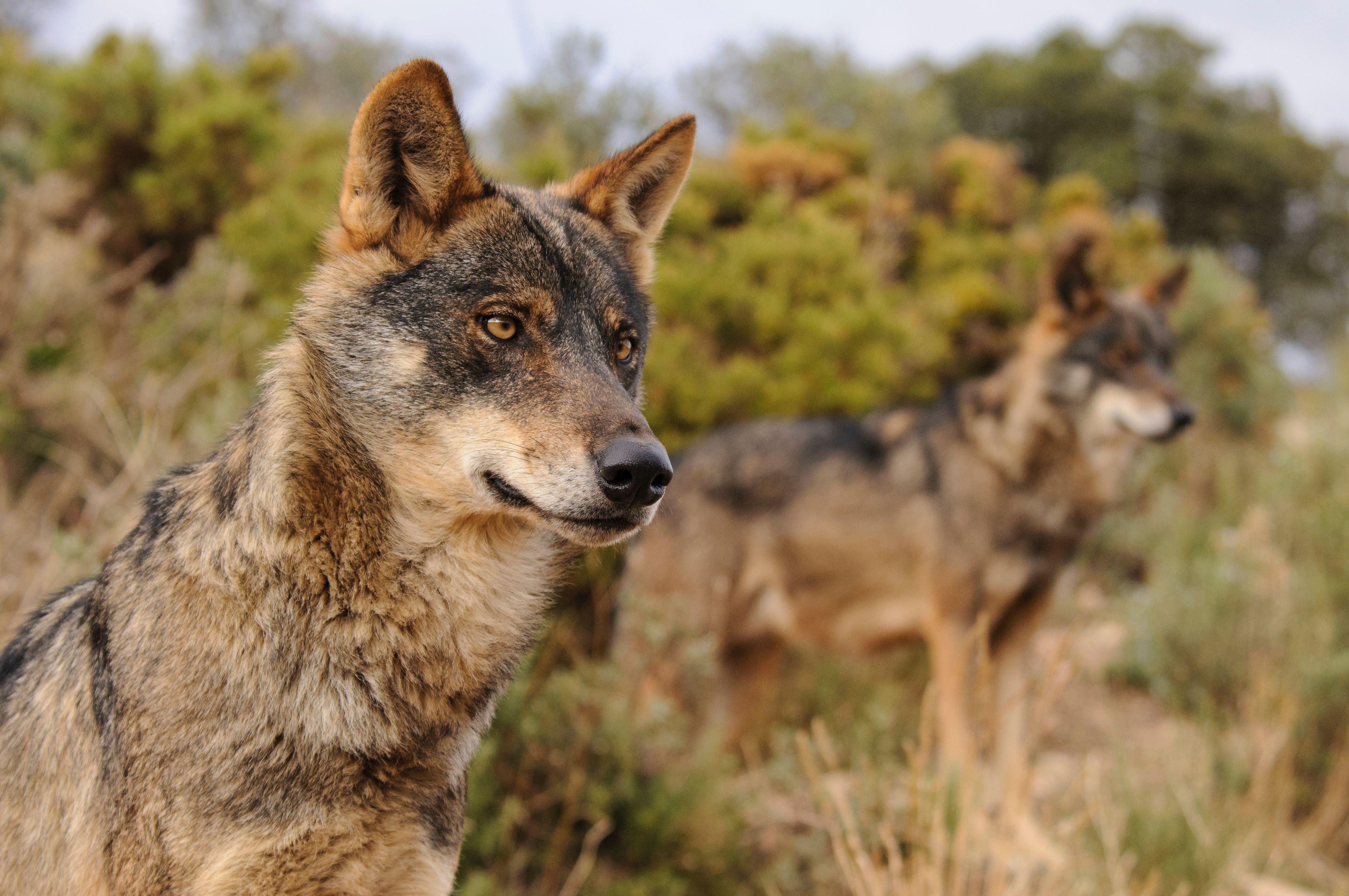 Lobos acechando. Imagen: Ana Retamero / WWF