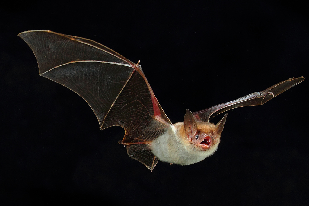 Murciélago ratonero grande. Imagen incluida en el Atlas de los Mamíferos de Yecla. Fotografía de Óscar Marco.