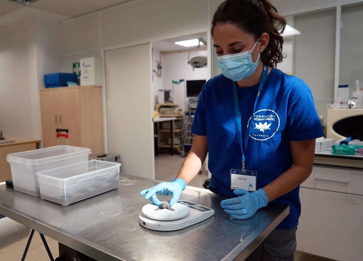 Marta Muñoz, veterinaria de la Fundación Oceanogràfic pesando a uno de los neonatos. Imagen: Oceanogràfic
