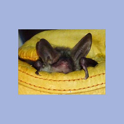 Murciélago ratonero forestal ('Myotis-bechsteinii'), una especie especies amenazada y protegida. Imagen: ANSE