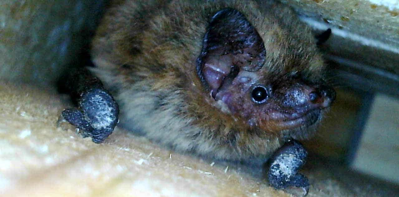Murciélago de Cabrera ('Pipistrellus pygmaeus'), una de las especies halladas en el estudio. Imagen: ANSE