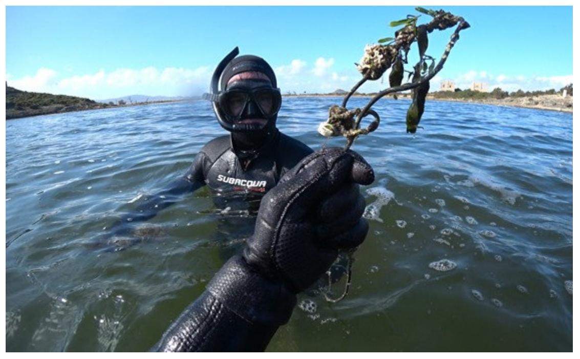 Instrumento artesanal de extracción de nacras encontrado en el Mar Menor durante el estudio de densidad de nacras. Imagen: CARM