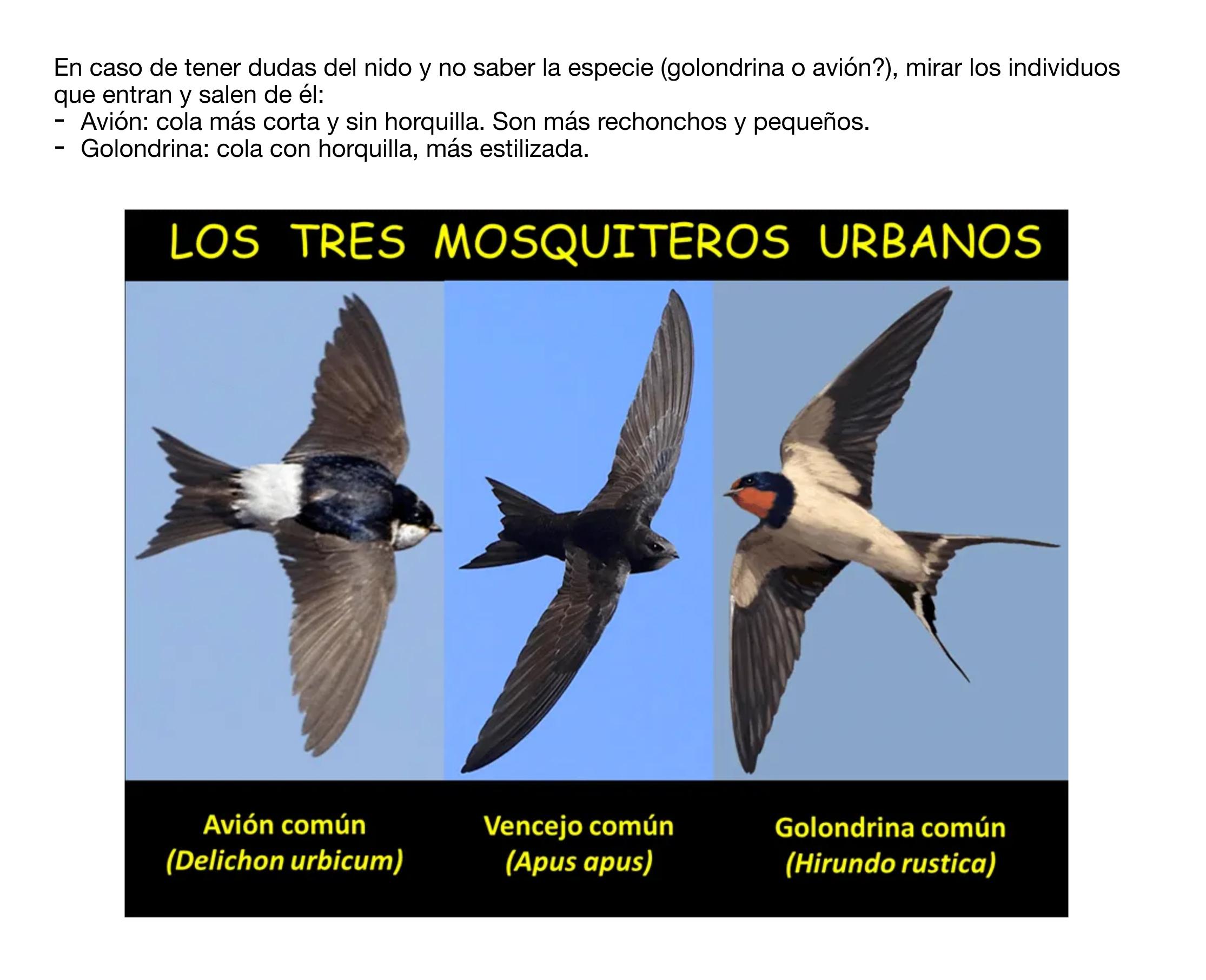 Fotografía para distinguir las tres especies. Imagen: SOS Vencejos / Anida Yecla
