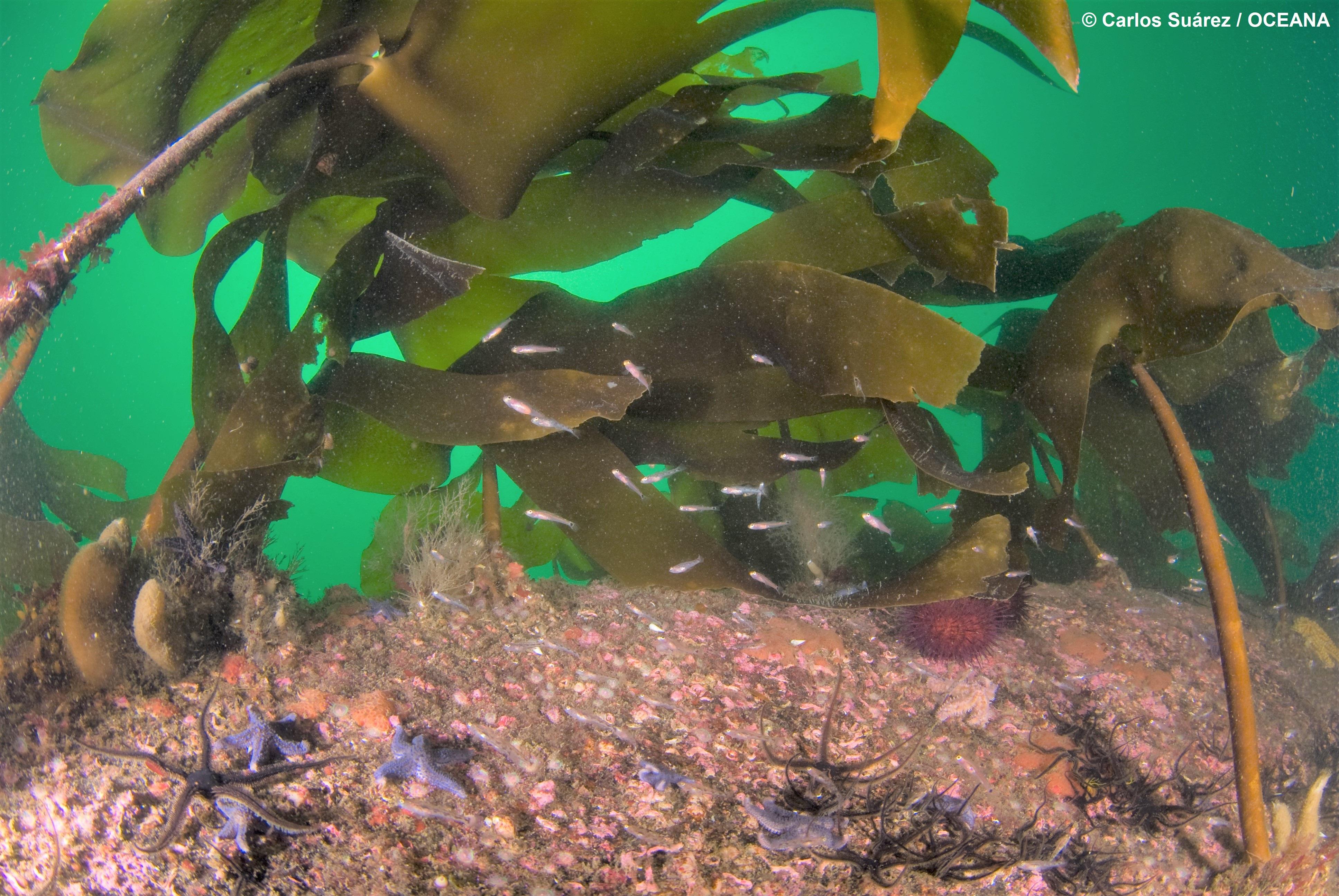 Bosque de laminarias en aguas de Galicia. Imagen: Carlos Suárez / OCEANA