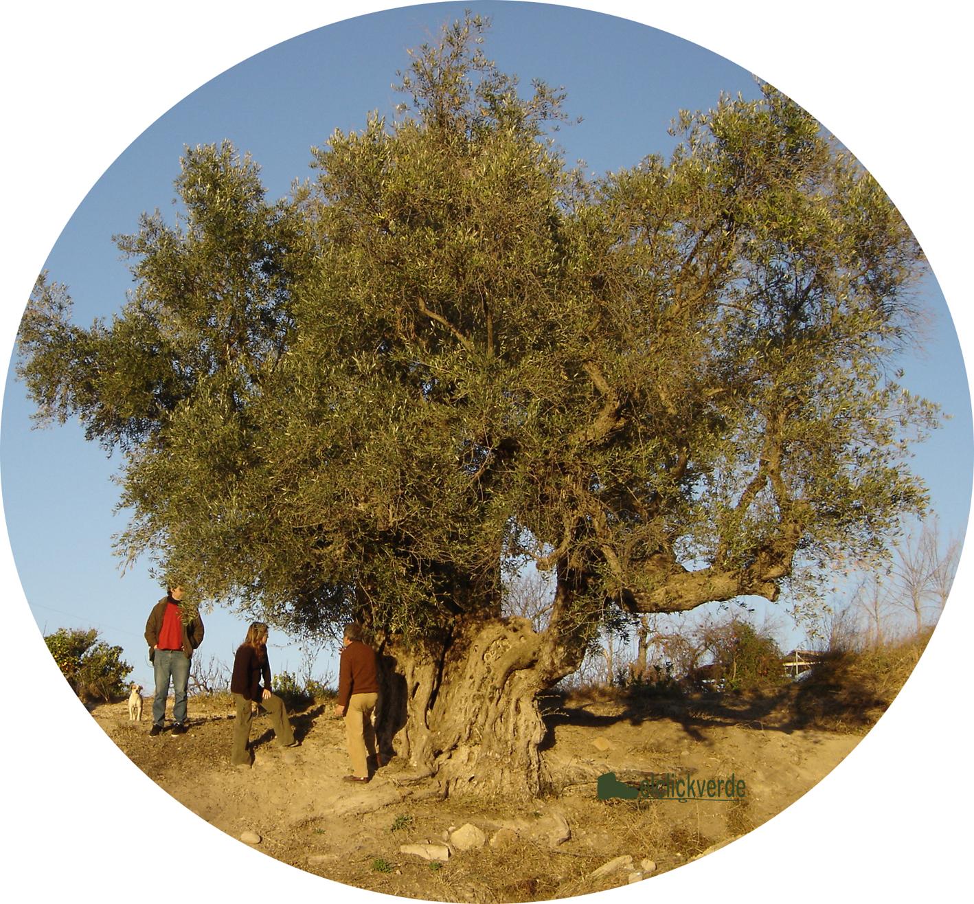 El 'Olivo gigante' de Mula