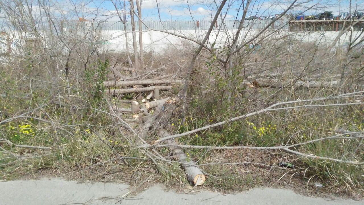Restos de troncos caídos de la olmeda recién talada en Puebla de Soto. Imagen: Huermur