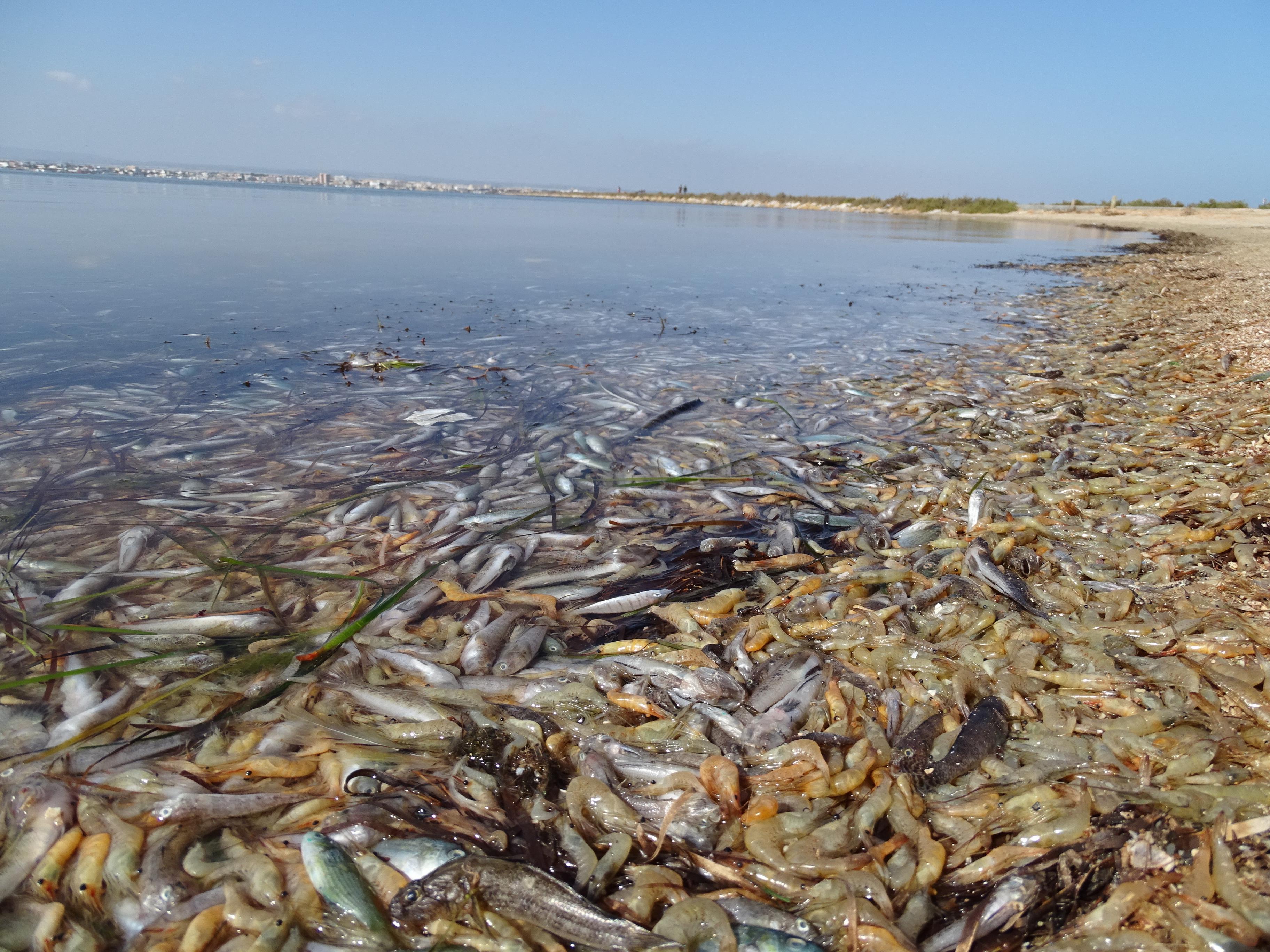 Animales marinos muertos ocupando grandes extensiones de la orilla del Mar Menor. Imagen: Pedro García / ANSE