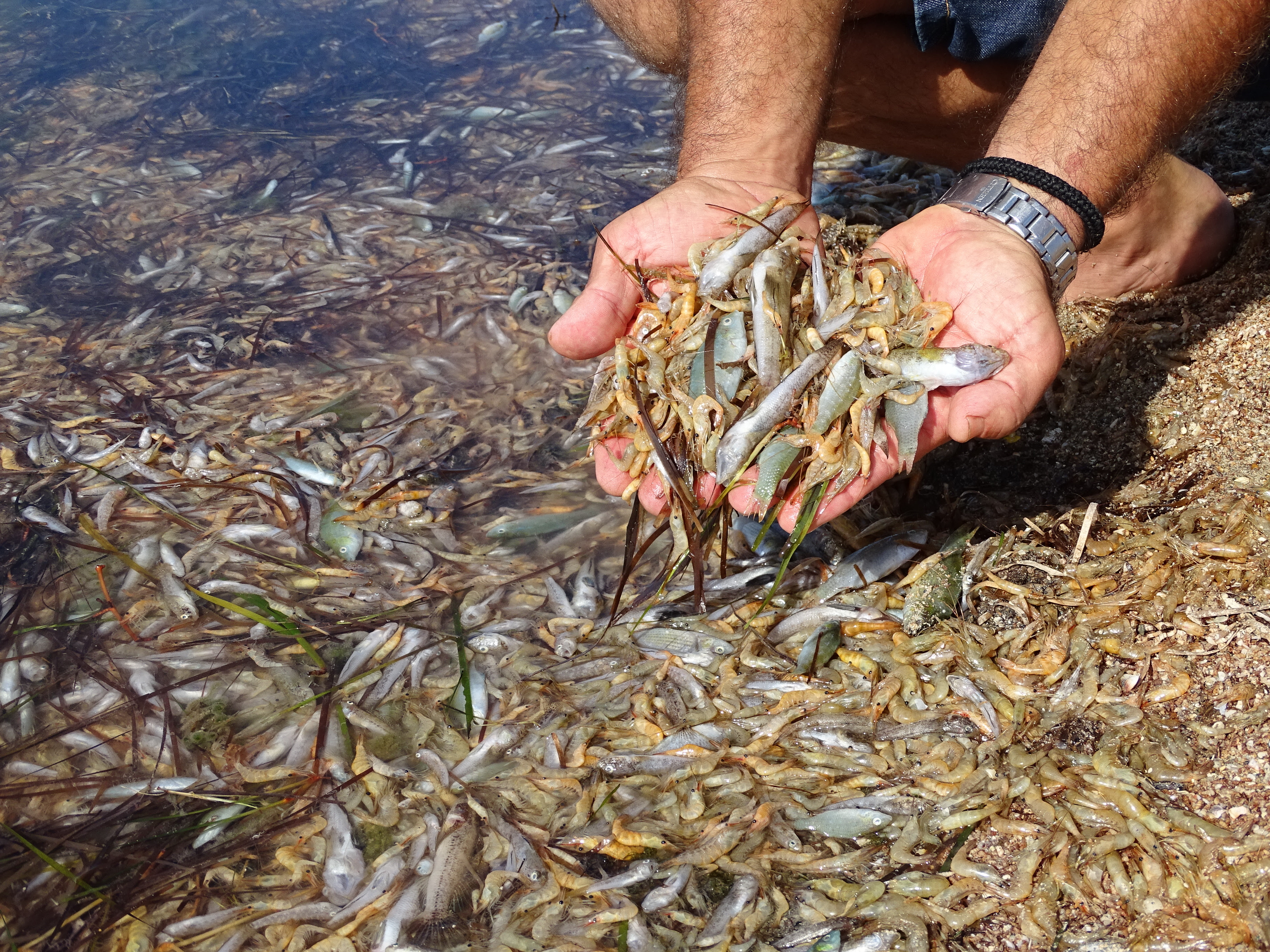 Multitud de especies muertas en la orilla del Mar Menor. Imagen: Pedro García / ANSE