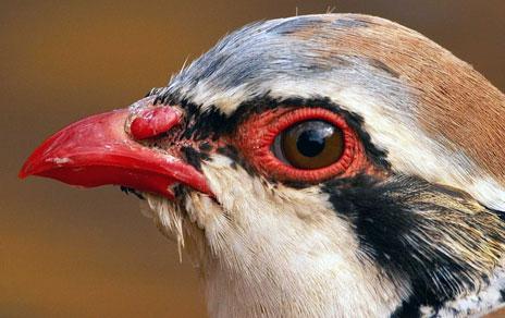 Detalle de la cabeza de la perdiz roja. Imagen: R. Palomo / MNCN