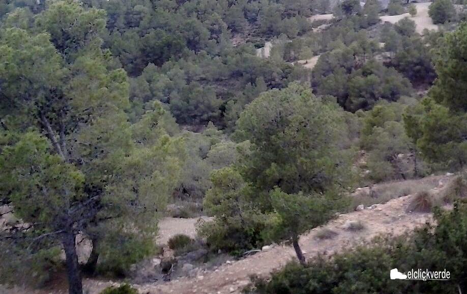 Pinos en un Espacio Natural Protegido de la Región de Murcia.