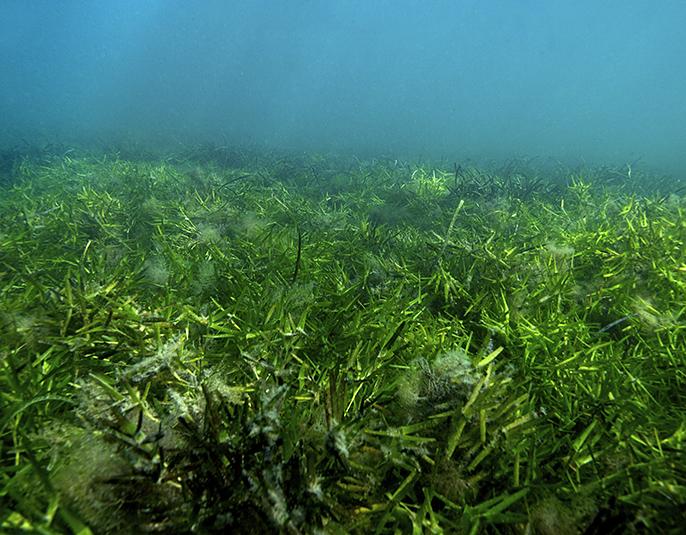 Pradera submarina de Shark Bay, Australia. FOTO: Paul Lavery - CSIC