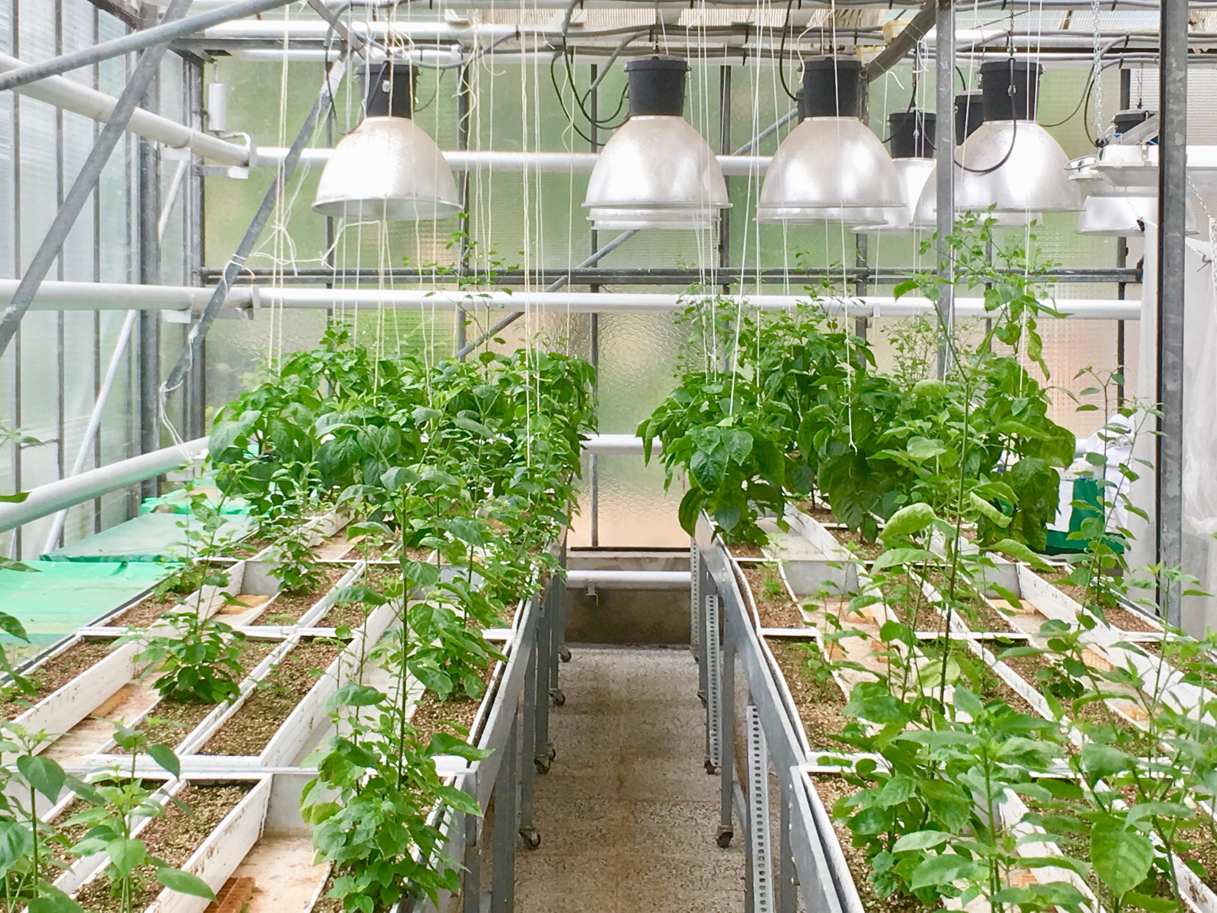 Invernadero de experimentación, donde se ha trabajado con ejemplares de plantas de guindilla. Imagen: MNCN-CSIC