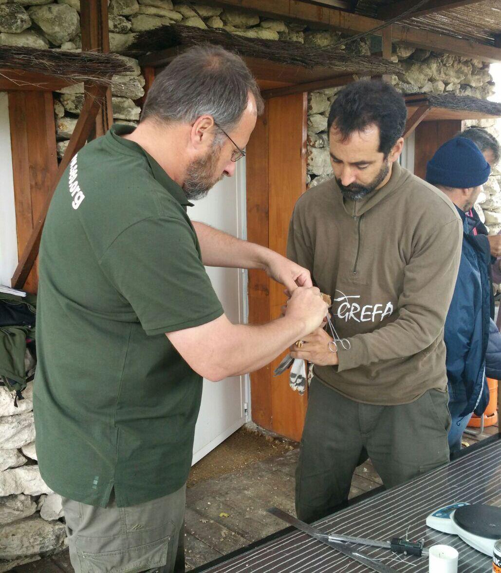 Técnicos de SEO/BirdLife y GREFA marcando un cernícalo primilla con dispositivo GPS. Imagen: SEO/BirdLife