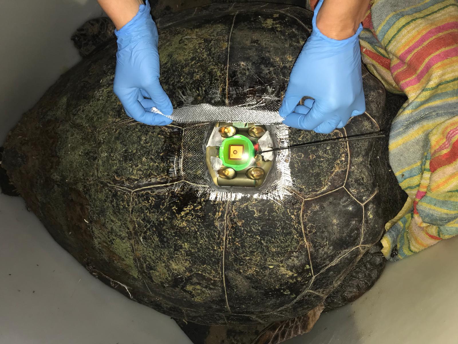 Primera tortuga radiomarcada con marcador satelital dentro del Plan Alerta Tortuga. Imagen: Generalidad Valenciana