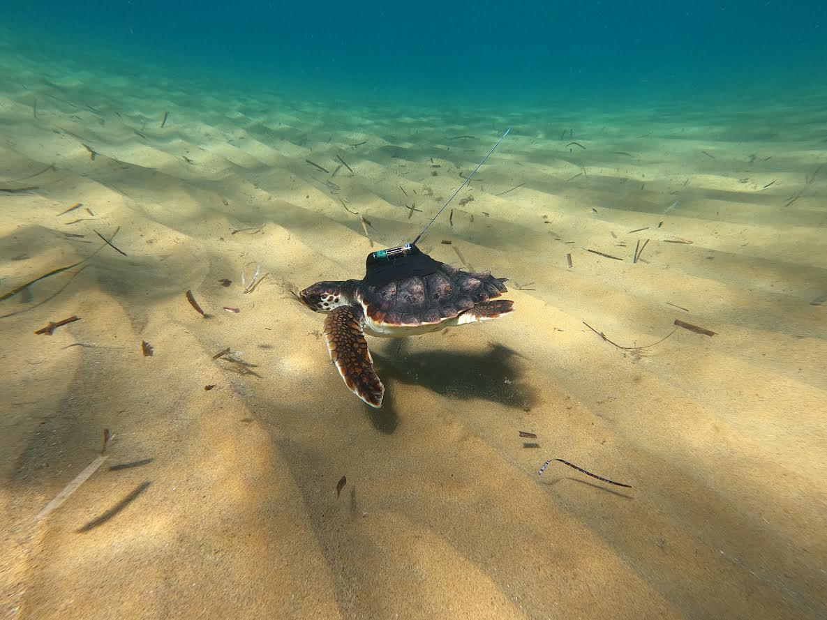 Una de las tortugas marcadas por ANSE, seguramente Argonauta, el día de su liberación en Calblanque el 5 de octubre de 2020. Imagen: P. García / ANSE