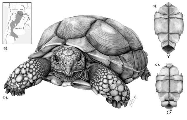 Tortuga terrestre Chelonoidis chilensis, de Gabriel Ignacio Baloriani. Imagen: MNCN